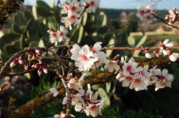 Blossom on one of our almond trees