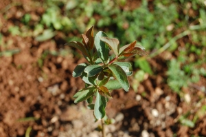 A hedge-in-the-making: one of 20 blackthorn shrubs that now grace our back field