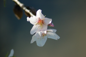 Almond blossom's delicate beauty