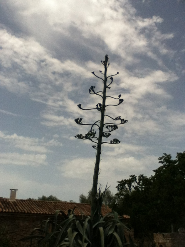 It's the start of an agave flower, not a tree. Photo by The Boss.