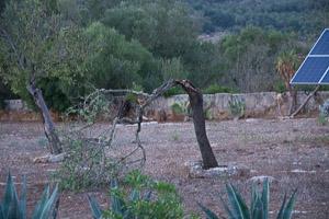 One broken almond tree