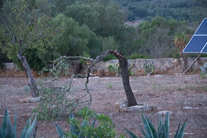 One broken almond tree