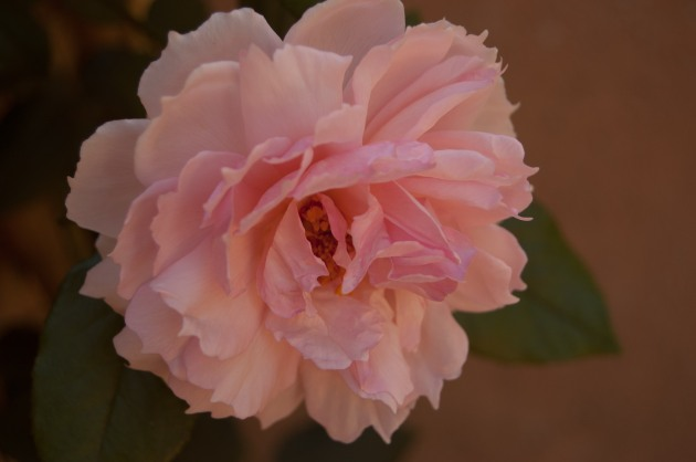 The first rose of autumn for our David Austin 'Lady Hillingdon' rose.
