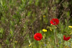 Poppies on the Via Verde
