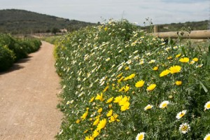 Spring wildflowers on Via Verde, Mallorca