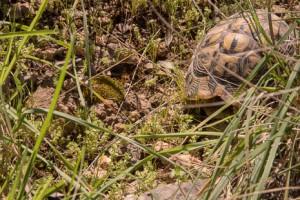 Mediterranean tortoise, Mallorca