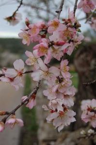 Majorca blossom