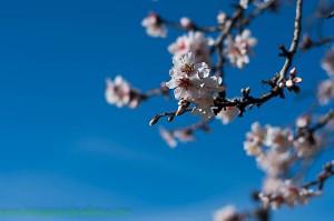 Almond blossom Majorca