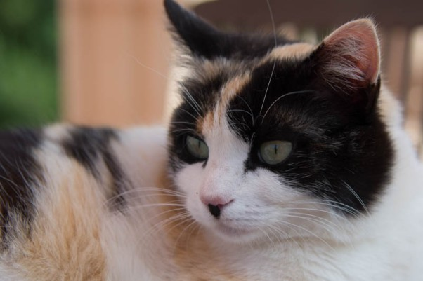 And here's a kitty of another variety. Pip loves having people come to stay ... more fuss for her!