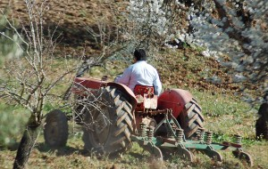 Mallorcan farmer at work