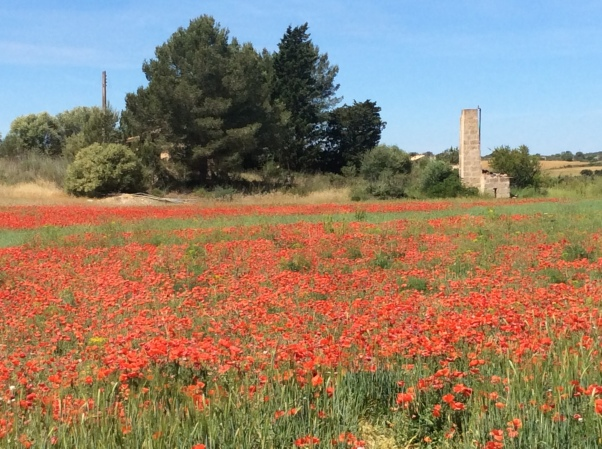 Rural Majorcan poppies