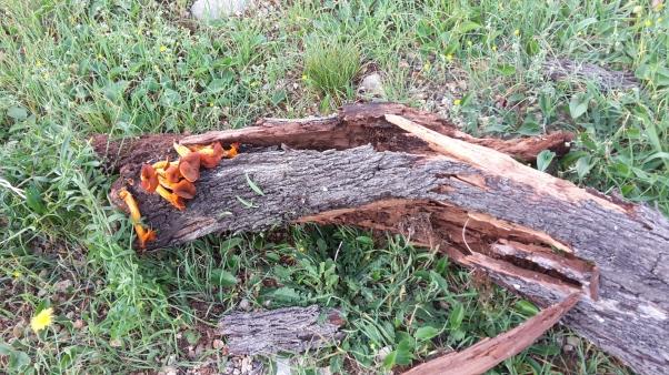 Almond tree felled