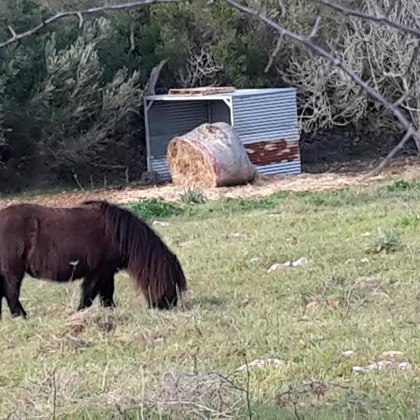 Grazing pony