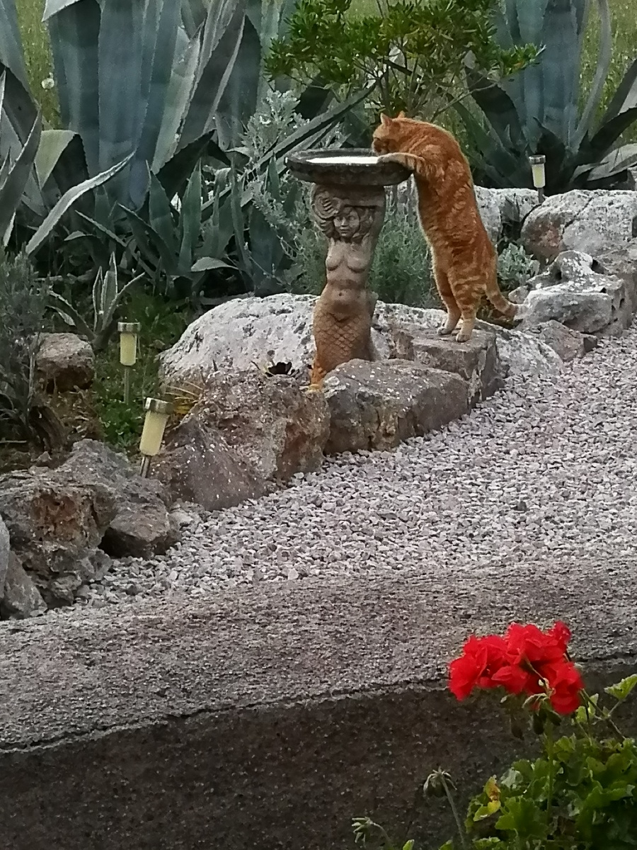 Marmalade cat drinking from birdbath